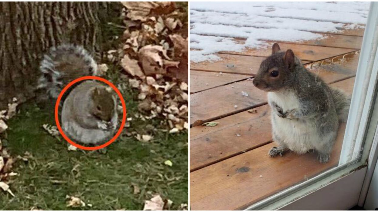 We Ranked Your Photos Of Chubby Montreal Squirrels From 'Chonk' To 'Absolute Unit'